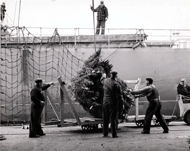 The only [Haligonian] way to ship a Christmas tree in 1940 - get it on your hook, and haul it into your boat.